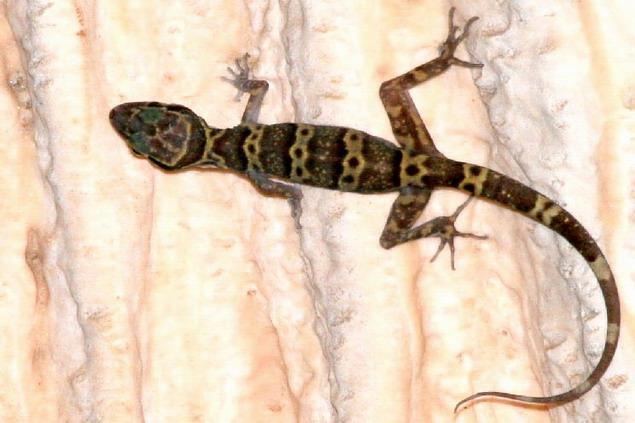 Tuk Kai Tham Plong Thong (Cyrtodactylus auribalteatus)  Found in Thung Salaeng Luang National Park in Phitsanulok  Photo by Non Phanitwong
