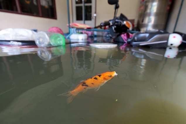 This carp was discovered swimming freely at a house in Nonthaburi's Bang Bua Thong district. Photo by Chanat Katanyu.
