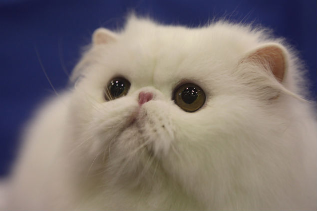 Bever, a two-year-old Persian cat, attends Hill's Cat Championships Contest 2012 at The Mall Bang Khae. Photo by Pawat Laupaisarntaksin.