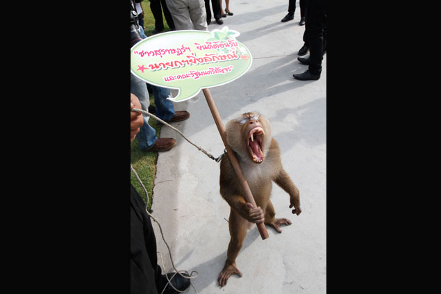 Khai Lek, a macaque trained to help people pick coconuts, holds a sign greeting Prime Minister Yingluck Shinawatra before she attended a mobile cabinet meeting on Koh Samui. Photo by Thiti Wannamontha.