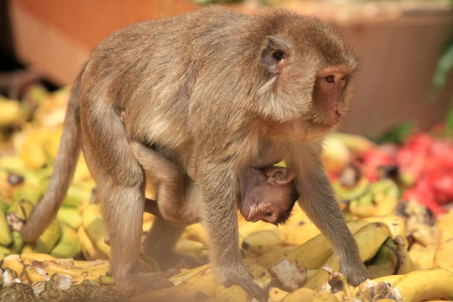 Yongyuth Kitwatananusont, owner of the Lop Buri Inn Hotel, believes that monkeys are a sacred animal capable of helping his business to prosper.