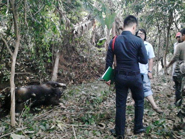 Police and veterinarians inspect the carcass of a gaur shot by a poacher in Khao Paeng Ma mountain of Nakhon Ratchasima on Monday. (Photo by Prasit Tangprasert)