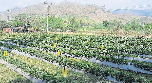The Pid Thong  Lang Phra  project promotes  cultivation of  strawberries and  temperate fruits in  lieu of single-crop  farms.