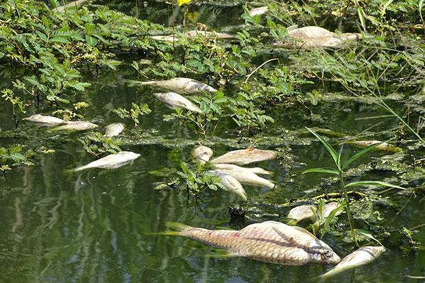 Floating dead fish litter Huay Yang Khu creek in tambon Salalai of Prachuap Khiri Khan's Sam Roi Yot district. (Photo by Chaiwat Satyaem)
