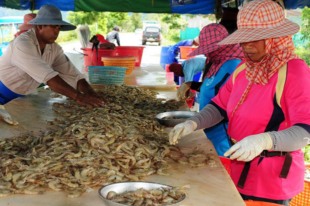 Shrimp farmers sort out their produce in Prachuap Khiri Khan's Sam Roi Yod district in October 2010. (Bangkok Post file photo)
