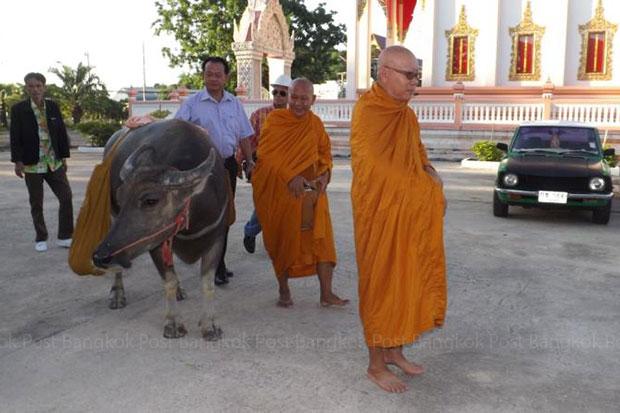 Bua Ngern, a three-year-old buffalo, follows the abbot of Wat Thung Tarn seeking alms on Monday at the temple in Muang district in Ratchaburi province. (photo by Sunan Ochakachorn)