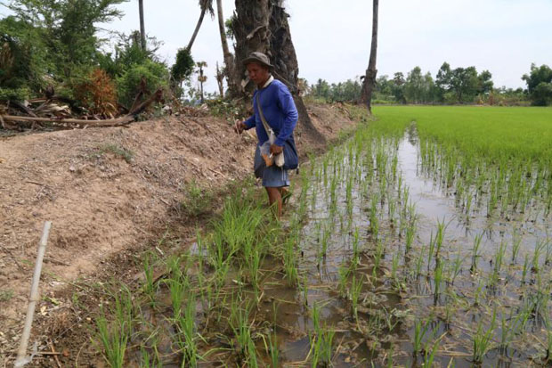 Despite the government's call for another delay, farmers are determined to take their chances, arguing that planting was already postponed once early this year due to water shortages. (Photo by Chudate Seehawong)