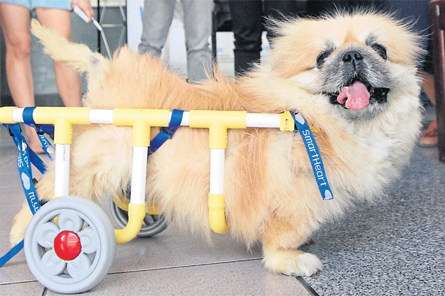 A disabled dog uses a wheelchair at a seminar on how to make wheelchairs for disabled dogs and cats at Chulalongkorn University's Faculty of Veterinary Science yesterday.Narupon Hinshiranan