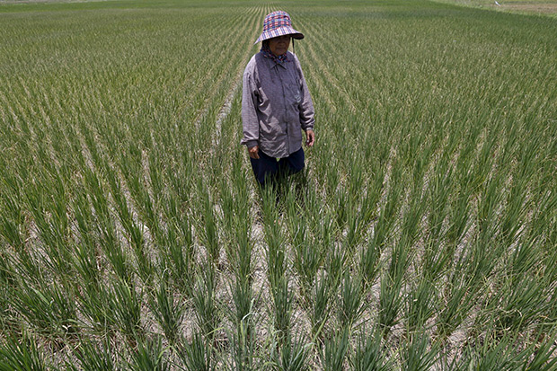 A farmer walks in a dry rice field in Suphan Buri province July 10. In the central province, farmers are becoming increasingly desperate for water to irrigate their parched fields as the rice-producing nation suffers its worst drought in more than a decade. (Reuters photo)