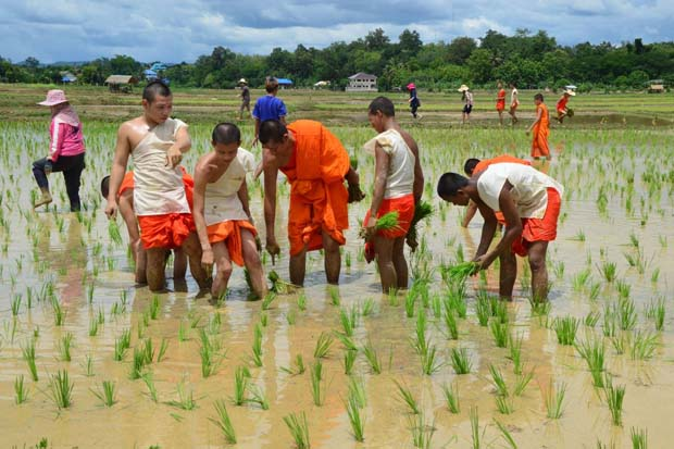 Buddhist monks and novices lead local farmers in a ceremonial planting of rice in Phu Phiang district of Nan province on Wednesday, in the wake of heavy rain. (Photo by Rarinthorn Petcharoen)