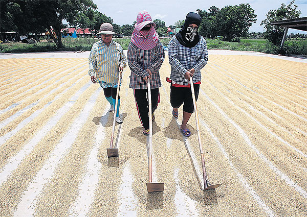 Farmers dry harvested paddies in Suphan Buri. The government has set aside fresh money to assist farmers hit by the drought and weak economy. PATTARAPONG CHATPATTARASILL
