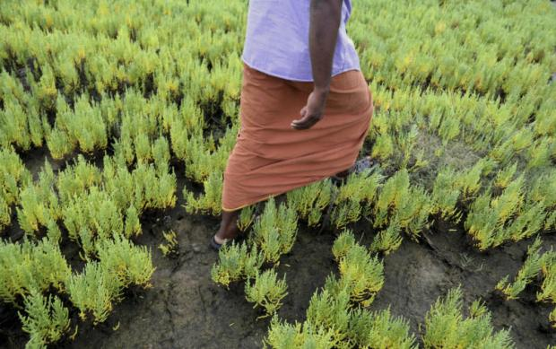 Aman walks through wild-growing Salicornia brachiata, a halophyte known to locals as 'chicken feet,' that now thrives on fields tainted by saltwater from a neighbouring shrimp farm near Velankanni, India.(AP photo)