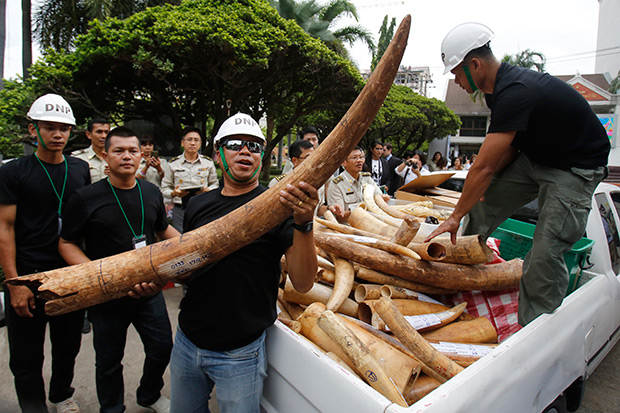 An official holds seized elephant tusks to be displayed before its destruction in Bangkok Wednesday. (AP photo)