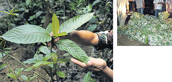 Kratom leaves: Are they really a dangerous drug? (with video