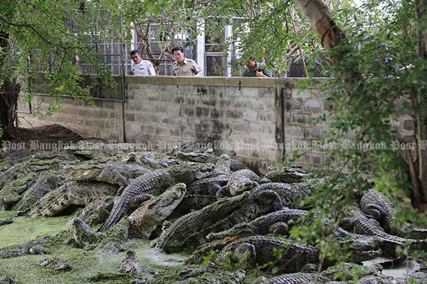 Local officials and soldiers in Chai Nat inspect a major crocodile farm in Wat Sing district as part of precaution measures to prevent a recurrence of crocodiles on the run in Ratchaburi. (Photo by Chudate Seehawong)