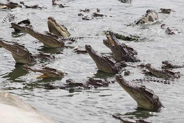 Crocodiles wait to be fed at the Sri Ayutthaya Crocodile Farm in this 2014 file photo. New rules would require farms to have pit walls at least 1.5 meters high, along with other safeguards to prevent escapes.