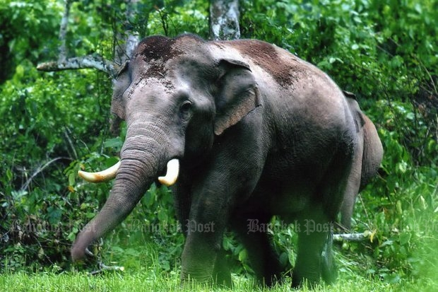 An adult elephant was photographed as it joined its herd in invading a farmer's field in in Khao Ang Rue Nai sanctuary. (Photo by Jatuporn Noijaiboon)