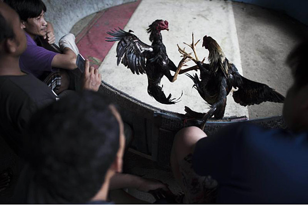 Men watch as cocks fight on a makeshift ring under a highway in Bangkok on Oct 11, 2015. (AFP photo)