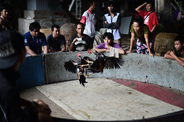 A cockfight in progress at a small cockfighting ring, usually accompanied with a lot of gambling. AFP PHOTO / Christophe ARCHAMBAULT