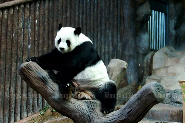 Lin Hui at the Chiang Mai Zoo on Tuesday. (Photo by Cheewin Sattha)