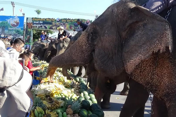 Elephants get stuck into the weighty buffet in downtown Surin on Friday, a highlight of the province's annual elephant festival, which runs from Nov 13 to 24 this year.  (Photo by Nopparat Kingkaew)
