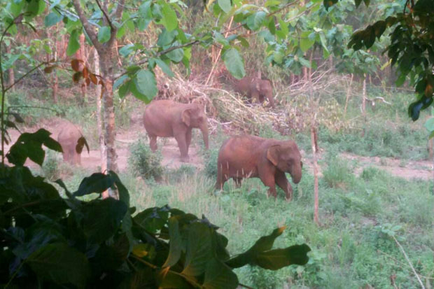 Wild elephants forage for food in fields in Thong Pha Phum district, Kanchanaburi, on Sunday. (Photo by Piyarach Chongcharoen)