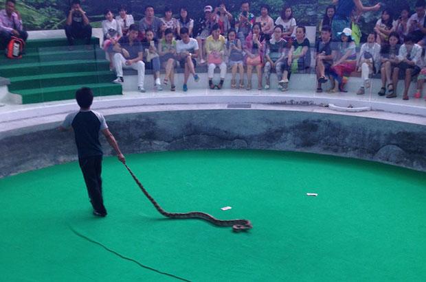 A python features in a snake show at Phuket Bio Technology.(Photo by Achadtaya Chuenniran)