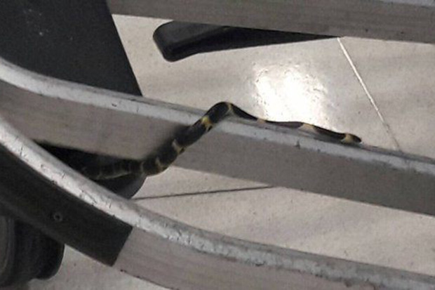 A reptile expert said snake seen a Suvarnabhumi airport's arrival hall appeared to be a Malayan Bridle snake, a non-venomous variety. (Photo from YouLike Facebook page)