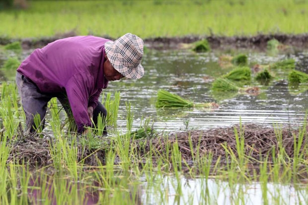 The Commerce Ministry cuts the annual paddy production of the country from 30 million tonnes to 25 million tonnes to suit demand this year. (Pattarachai Preechapanich)