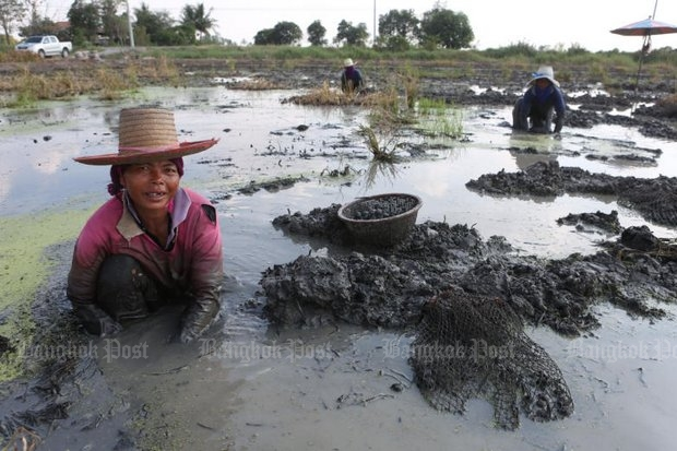 Water chestnut growers work in a muddy field in Suphan Buri province to collect the nuts before it dries up. Water chestnuts from the farm are sold in bulk at 300 baht per 15 kilogrammes. (Photo by Pattarapong Chatpattarasill)