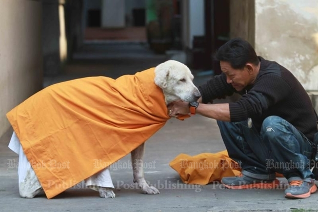 Krissana Sriphetch, 43, uses discarded monastic robes to give warmth to dogs in the area of the Bang Na temple in Bangkok. By tomorrow noon, the coverings shouldn't be needed. SOMCHAI POOMLARD