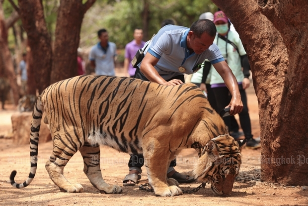 An official from the Department of National Parks, Wildlife and Plant Conservation examines a microchip implanted in a tiger at Wat Pa Luangta Bua Yanasampanno in Kanchanaburi in April last year. The inspection followed the reported disappearance of three of the 147 tigers at the temple. (Bangkok Post file photo)