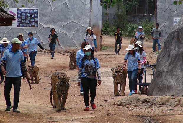 Staffers and monks at Kanchanaburi's Wat Pa Luangta Bua Yanasampanno handle some of teh 147 big cats in their care at the so-called
