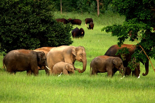 Wild elephants are often in close contact with farmers, and sometimes are killed to protect crops. A new plan would provide more land for elephants to help save diminishing numbers of the jumbos in the East region. (Photo courtesy WWF Thailand)