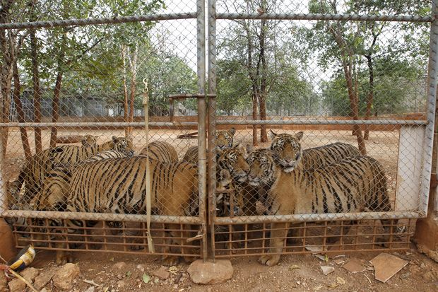 Tigers are seen behind a fence at the Tiger Temple in Kanchanaburi province on Thursday. (Reuters photo)