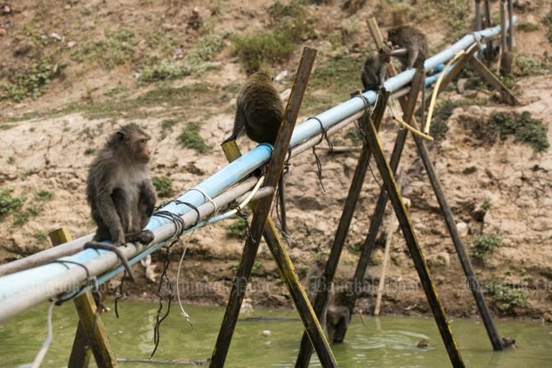 A few of the 400 macaques at Wat Kai in the drought-affected Bang Pahan district, Ayutthaya, sit around a pond dug up for them by local administration authorities. It is the last reserve for the monkeys. (Photo by Krit Promsaka na Sakolnakorn)