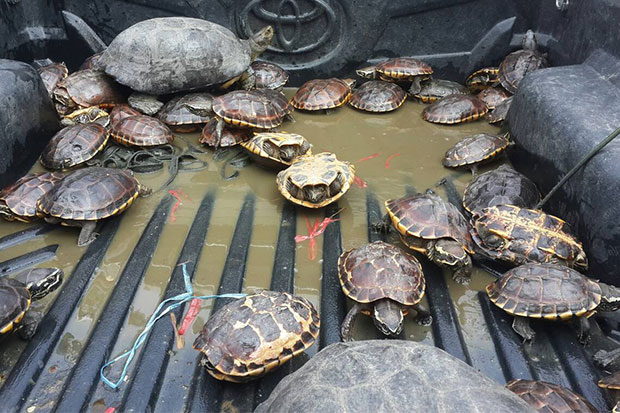 These rare turtles are among hundreds of wild animals seized from a pickup truck heading to Sa Kaeo on Saturday. (Photo by Sawat Ketngam)