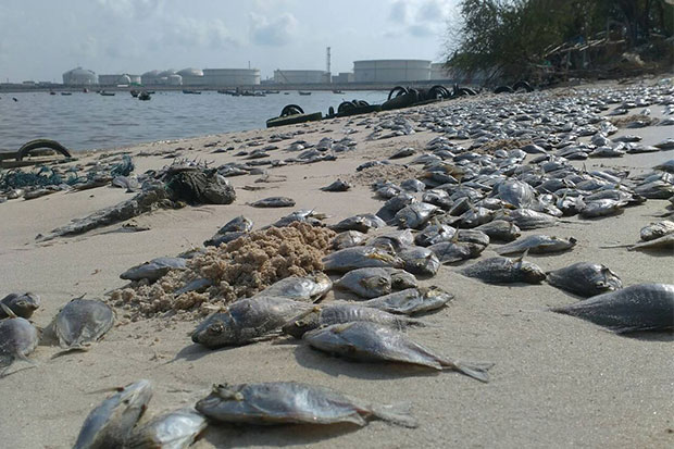 Hundreds of dead fish have washed up on Ta Kuan beach in Rayong, where fishermen have rejected official explanations that the deaths resulted from a naturally occurring plankton bloom. (Photo by the Ban Paknam small-scale fishermen's group)