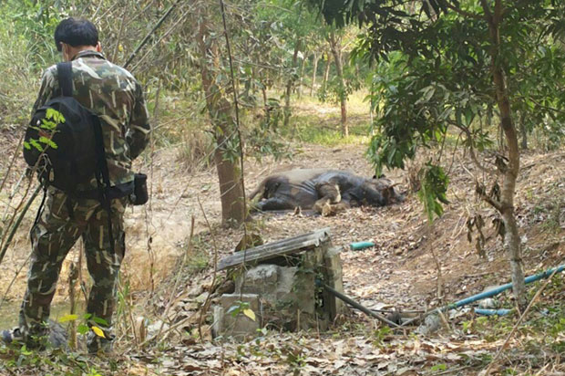 A forest ranger stand guard near the body of one of two bull elephants found dead near a well in Chanthaburi on Monday. (Photo by Jumphol Nikomruk)