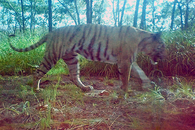 This handout photo taken on Nov 29, 2007 by a camera trap and released by the World Wildlife Fund in Cambodia on April 6 shows a tiger walking in the forest in Mondulkiri province. (AFP photo)
