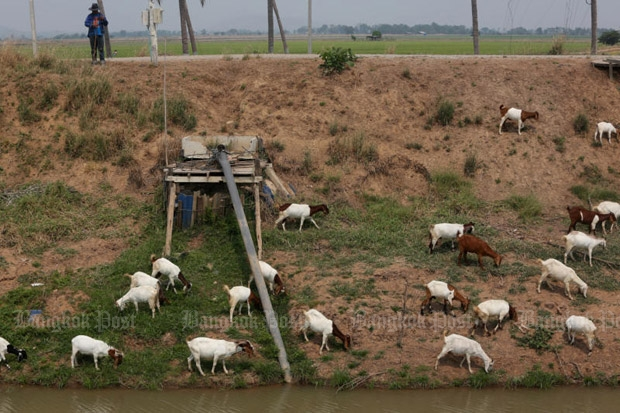 A farmer grazes his goats along a shallow irrigation canal in Sapphaya district of drought-stricken Chai Nat province. (Photo by Pattarapong Chatpattarasill)
