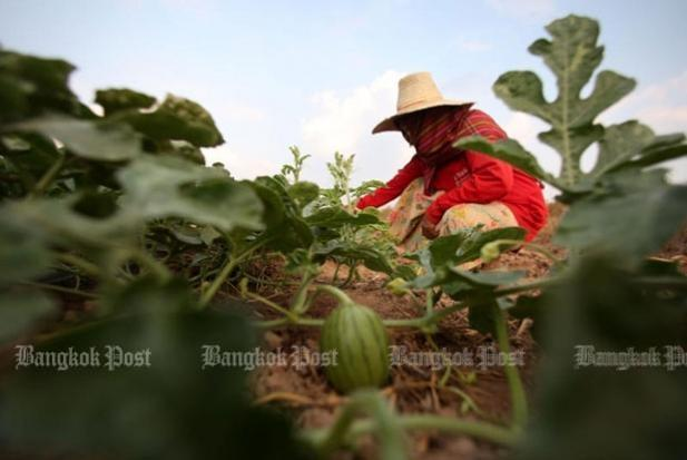 A woman tends to her watermelons at her farm in Buri Ram province in March. (Bangkok Post file photo)