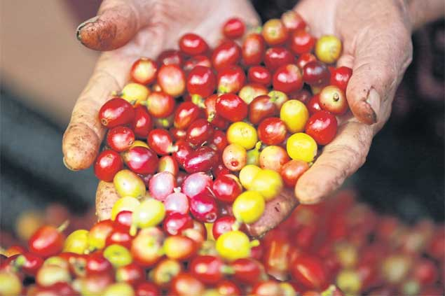 The lush coffee bean cherries are hand-picked before being fed to the e-hen.