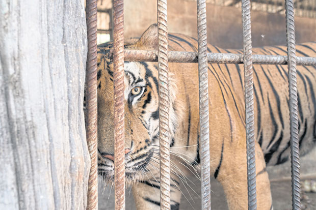 No freedom: With 147 tigers at the temple, many are forced to spend most of their time in cell-like cement structures, even though there is space to run and play.