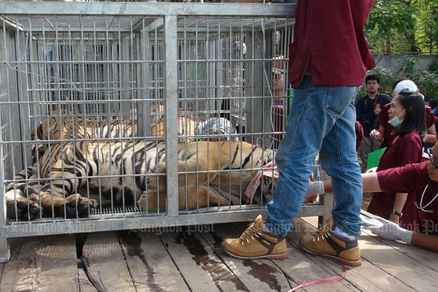 Staff from the Department of National Parks, Wildlife and Plant Conservation continued to catch tigers at the Tiger Temple in Kanchanaburi province on Tuesday. (Photo by Piyarach Chongcharoen)