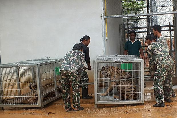 Park rangers try to take a tiger out of a cage after the cat was moved from the Tiger Temple to the Khao Son wildlife breeding centre in Chom Bung district in Ratchaburi on Friday. (Photo by Sunan Ochakhachorn)