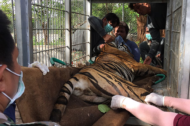 National park officials place the tranquillised tiger