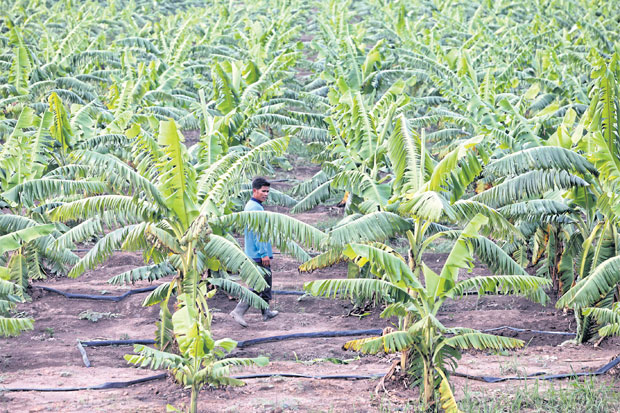 well watered: Banana trees in the Hongtar International plantation in Phaya Mengrai district in Chiang Rai. The plantation has been under scrutiny after residents alleged it pumped too much water.