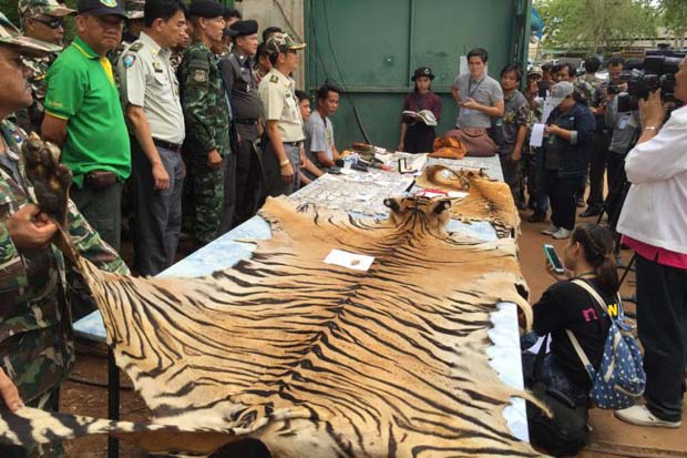National parks and wildlife officials seized tiger skins, tiger cub carcasses and talismans made from tiger parts at the Tiger Temple in Kanchanaburi province on June 1. (Photo by Piyarach Chongcharoen)
