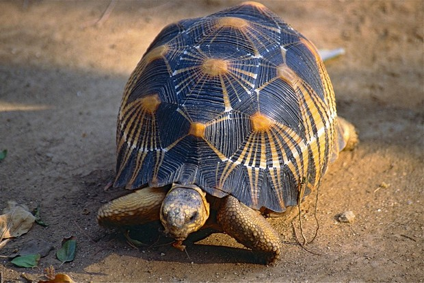 A rare Radiated Tortoise (Astrochelys radiata), said to be one of the most beautiful tortoises in the world and highly sought after by collectors. (photo wikimedia commons)